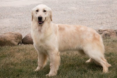 English Cream Golden Retrievers for sale in Indiana by Pristine English Cream Retriever