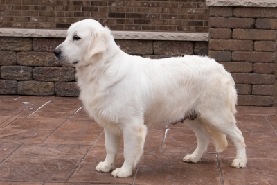 English Cream Retrievers for sale