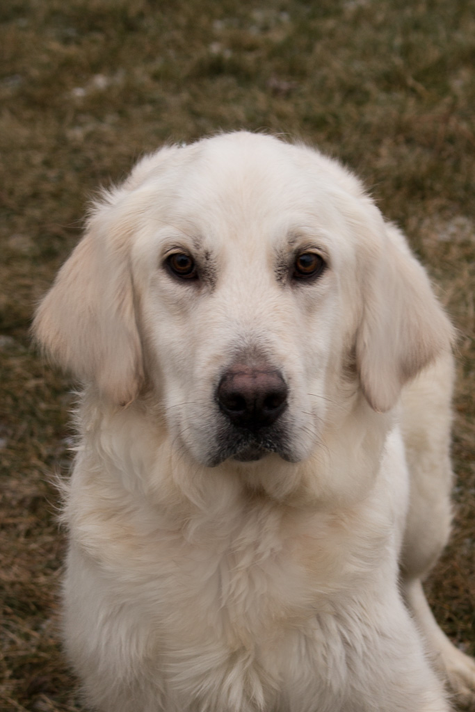 Pristine English Cream Golden Retrievers 260-466-2494