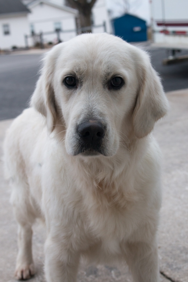 Sunny is an English Cream Golden Retriever
