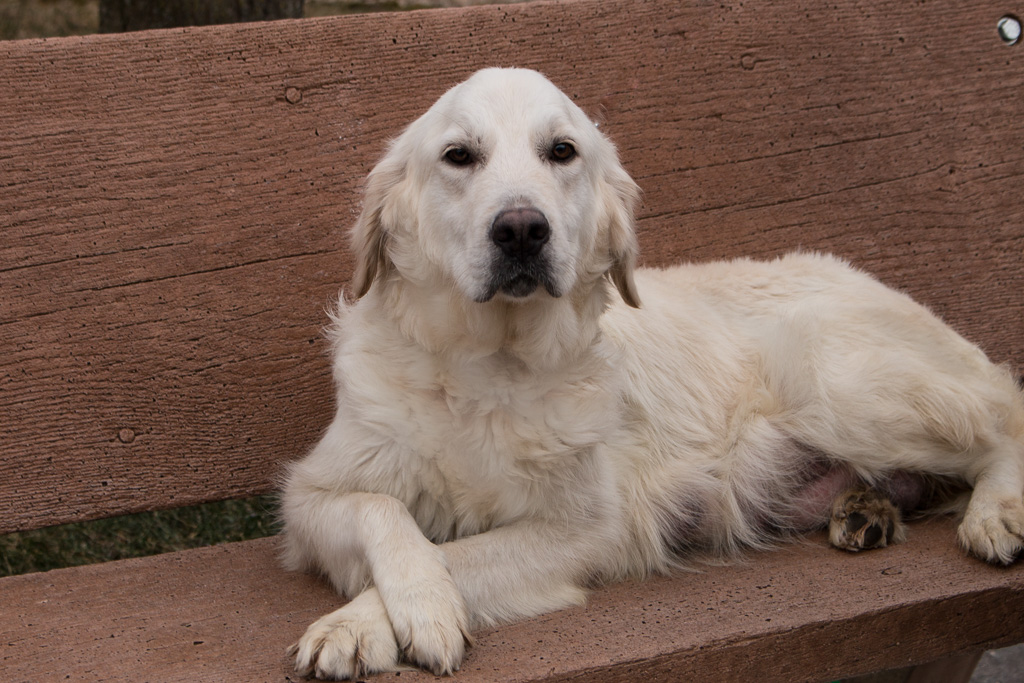 White Golden Retrievers For Sale 260-466-2494