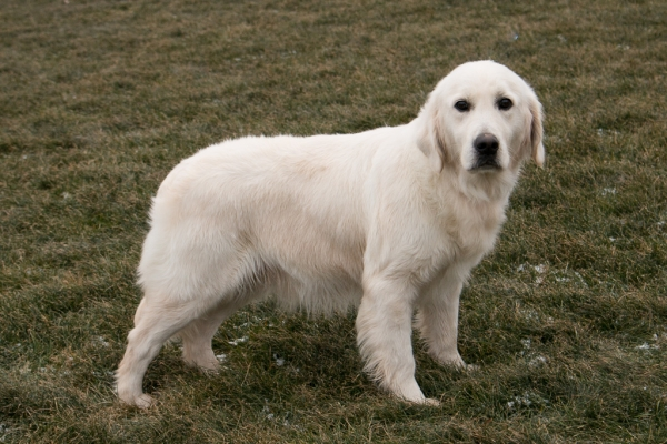 White Golden Retrievers For Sale by Pristine English Creams Sunny
