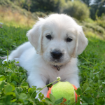 English Cream Puppies For Sale - Pristine English Creams