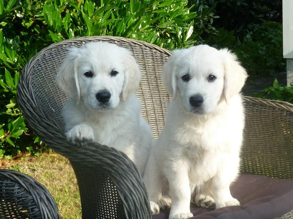 Pristine english cream golden retriever puppies for sale