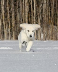 white golden retriever puppies for sale - Pristine English Creams