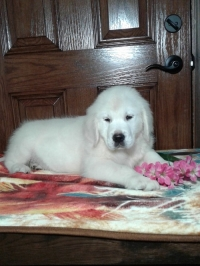English Cream Golden Retriever puppies for sale in Grabill IN - Hank