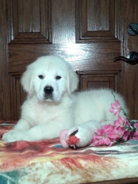 English Cream Golden Retriever puppies for sale in Grabill IN - Hank