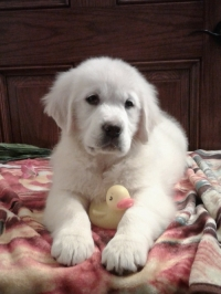 English Cream Golden Retriever puppies for sale in Grabill IN - Isla