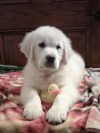 English Cream Golden Retriever puppies for sale in Grabill IN - Isla