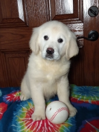 English Cream Retriever Puppies For Sale