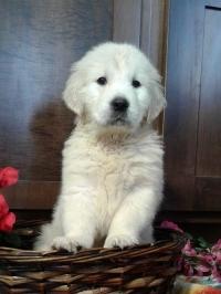 Pristine English Cream Golden Retriever Puppy - Skyla