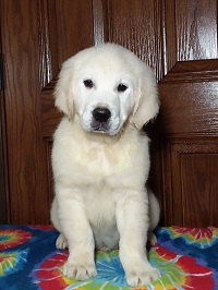 Pristine English Creams English Cream Retriever Puppies For Sale in Grabill IN