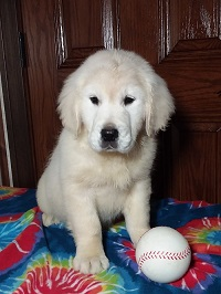 Pristine English Creams English Cream Retriever Puppies