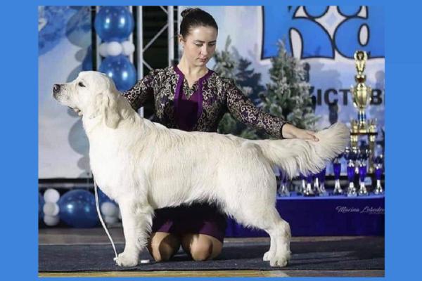 Izum Imported English Cream Golden Retriever Stud Dog From Russia