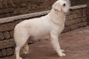 Pristine English Cream Retrievers is a top breeder in Indiana Daisy