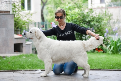 Pristine English Creams sells golden retrievers - Tramin Tamfanae