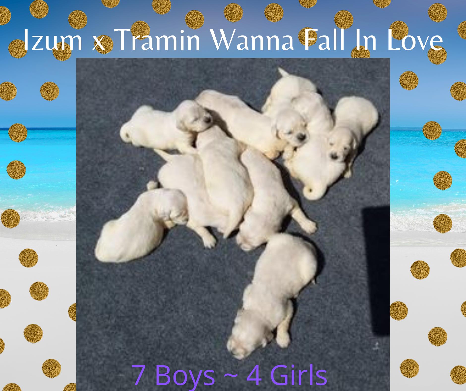 Izum x Tramin Wanna Fall In Love