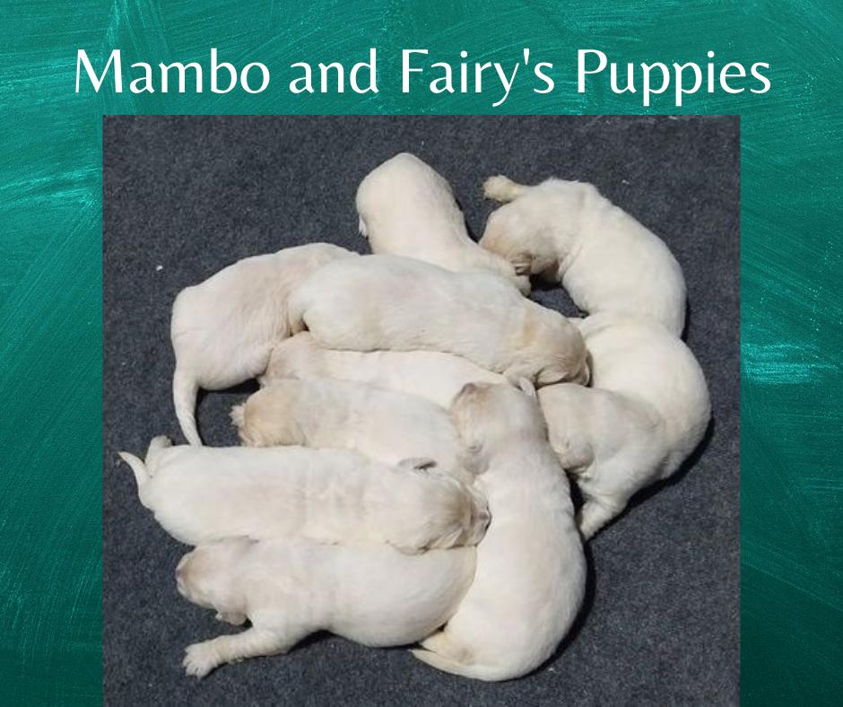 Mambo and Fairy's Puppies
